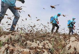 بسیج امکانات شهرستان ری برای مقابله با هجوم ملخها