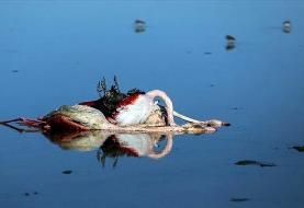 مرگ ناگوار و رازگونه پرندگان مهاجر در میانکاله و نابودی حیات وحش