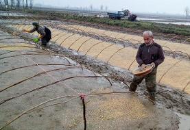 قد کشیدن نرخ برنج در سایه کرونا