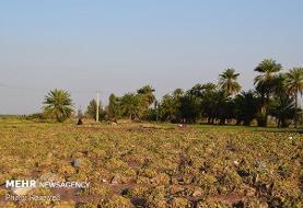 تخلیه آب از سطح ۶۱۰۰ هکتار اراضی کشاورزی مناطق سیل زده