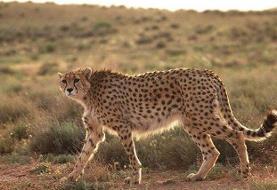 گونههای حیات وحش در معرض انقراض کشورمان کدامند؟
