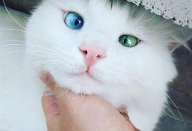 ویروس کرونا از طریق گربهها هم منتقل میشود؟