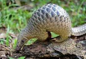 Gabon bans eating of pangolin and bats amid pandemic