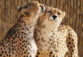بازگشت یوزپلنگهای آسیایی به پارک ملی توران