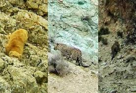مشاهده و تصویر برداری از پلنگ و گربه پالاس در فیروزکوه