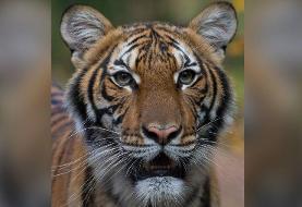 تست کرونای یک ببر در باغوحشی در نیویورک مثبت شد
