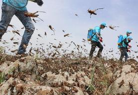 اقدامات انجام شده برای مبارزه با ملخهای صحرایی