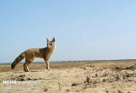 تحویل توله روباه به محیط زیست