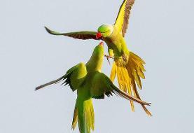 (تصاویر) درگیری دو طوطی در آسمان