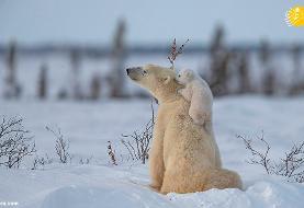 (تصاویر) بازیگوشی تولههای خرس قطبی در سرمای منفی ۴۰ درجه