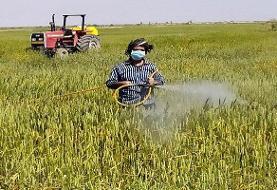 مبارزه با زنگ زرد در مزارع غلات مشهد