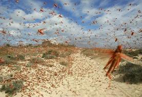جولان انواع ملخهای پرخطر و بیخطر در سراسر کشور | شکم بادمجانی و ایتالیایی در شمال و صحرایی در جنوب