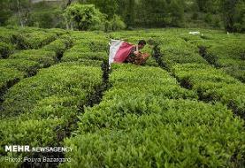 ۵۳ هزار تن برگ سبز چای از چایکاران گیلان و مازندران خریداری شد