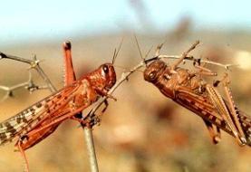 مبارزه با ملخ صحرایی در ۷ استان جنوبی کشور