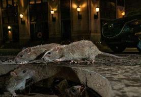 زندگی سایهوار موشها، گریبانگیر کلانشهرهای جهان