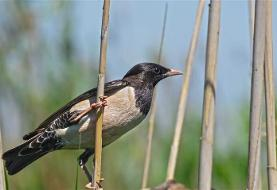 ورود هزاران پرنده حمایتشده سار صورتی به بیلهسوار