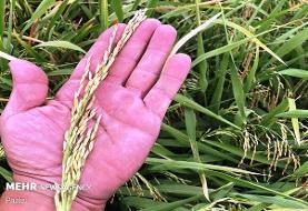 خشکه کاری برنج راهکار غلبه بر کم آبی/صرفه جویی ۴۰ درصدی در آب