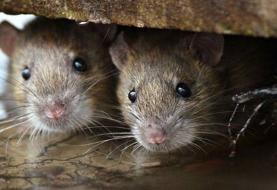 آخرین وضعیت کنترل جمعیت موشهای پایتخت