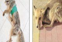 قصه روباه مصدومی كه به پایگاه هلال&#۸۲۰۴;احمر اصفهان پناه برد