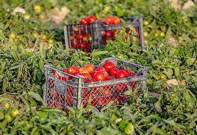 آغاز خرید حمایتی گوجهفرنگی در کرمان،  از فردا / قیمت حمایتی هر کیلو، ۱۰۰۰ تومان