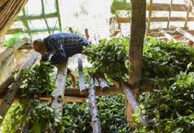۲۰۰ خانوار رضوانشهر در تکاپوی تولید ۵ تن پیله تر ابریشم