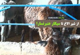 فیلم   از شیر الاغ تا سیگار عنبر نسارا   اینجا یک مزرعه پرورش الاغ است