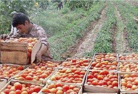 آغاز خرید حمایتی گوجهفرنگی از کشاورزان کرمانی