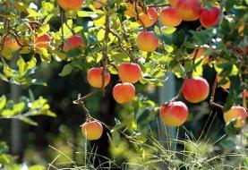 افزایش عملکرد باغات میوه با نهالهای اصلاح شده محققان