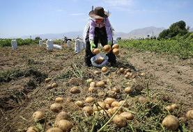برآورد برداشت ۹۳۰ هزار تن سیبزمینی