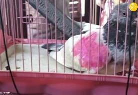 (ویدئو) کبوتر جاسوس دستگیر شد!