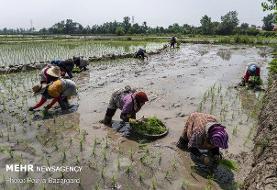 تب شالیزار در کمین کشاورزان گیلانی/ رعایت نکات بهداشتی ضروری است