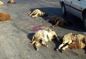 تلف شدن ۴۰ راس گوسفند در یک سانحه رانندگی در استان اردبیل