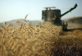 خرید گندم رکورد زد   پیشبینی ۴۵۰ هزار تن