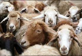 دستگیری عامل انتشار کلیپ آزار یک گوسفند در فضای مجازی