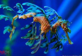 اژدهای دریایی برگی؛ سطان استتار در اقیانوس! (+فیلم و تصاویر)