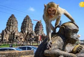 (تصاویر) یک شهر در تسخیر میمونها!