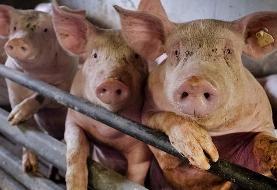 یک ویروس جدید آنفوآنزا خوکی با