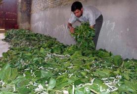 توسعه پرورش کرم ابریشم به بهبود وضعیت اشتغال منجر خواهد شد