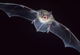 راز دانش: صدها نوع ویروس کرونا در خفاشها که تهدیدی بالقوه برای انسانند
