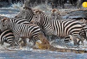 (تصاویر) گورخرها گرفتار در کمین تمساحهای گرسنه