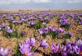 زعفران از جنوب خراسان کوچ کرد | به نام ایران، به کام اسپانیا