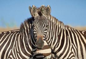 گذرگاه گورخر | کدام حیوان به دوربین نگاه میکند؟