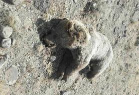 راننده تراکتور یک قلاده خرس را تلف کرد