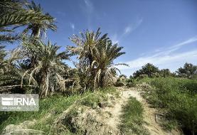 کشاورزی و نخلستانهای شادگان در خوزستان به دلیل نبود آب در حال نابودی است