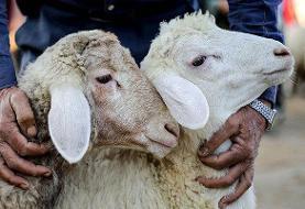 ویدئو | ماجرای پیاده شدن گوسفندان در بزرگترین فرودگاه ایران