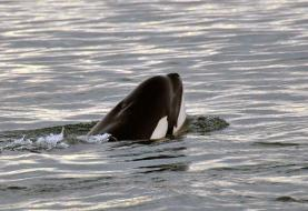 Tahlequah, the grief-stricken orca who carried her dead daughter with her for 17 days, is ...