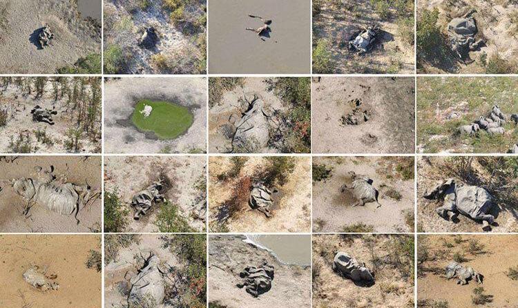 تصاویر تکاندهنده از مرگ مرموز صدها فیل در آفریقا