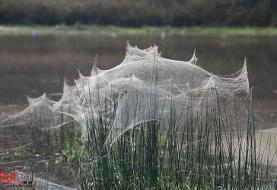 شگفتیهای طبیعت؛ جنگلی از تارهای عنکبوت! (+فیلم/تصاویر)