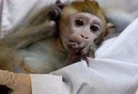 ویروس کرونا روی میمون&#۸۲۰۴;ها آزمایش شد