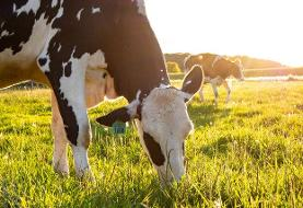 امارات ۴۵۰۰ گاو هلشتاین وارد کرد